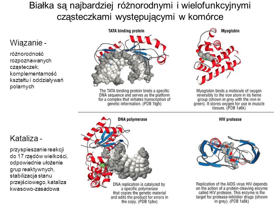 Wiązanie - różnorodność rozpoznawanych cząsteczek; komplementarność kształtu i oddziaływań polarnych Kataliza - przyspieszanie reakcji do 17 rzędów wi