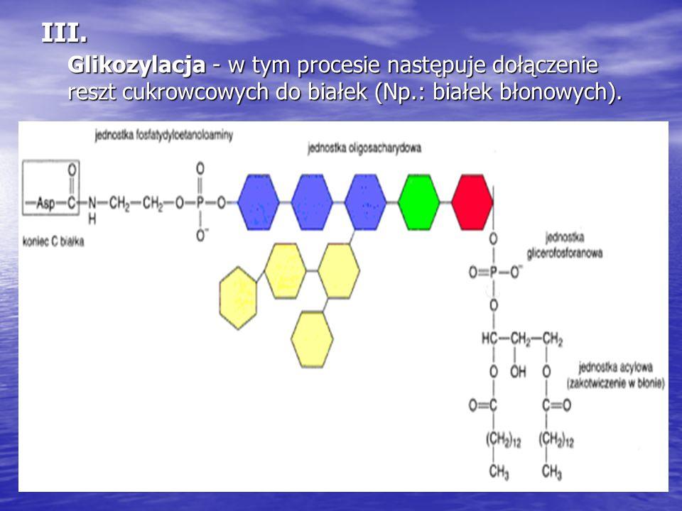 III. Glikozylacja - w tym procesie następuje dołączenie reszt cukrowcowych do białek (Np.: białek błonowych).