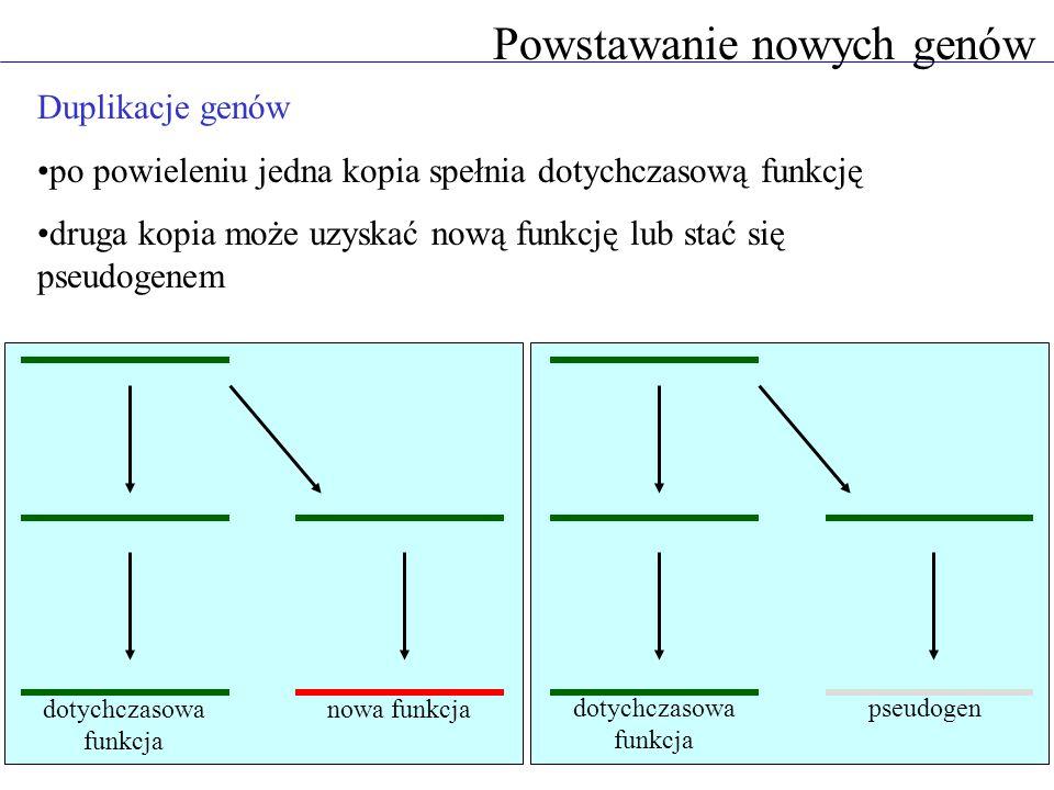 Duplikacje genów po powieleniu jedna kopia spełnia dotychczasową funkcję druga kopia może uzyskać nową funkcję lub stać się pseudogenem Powstawanie nowych genów dotychczasowa funkcja pseudogen nowa funkcja