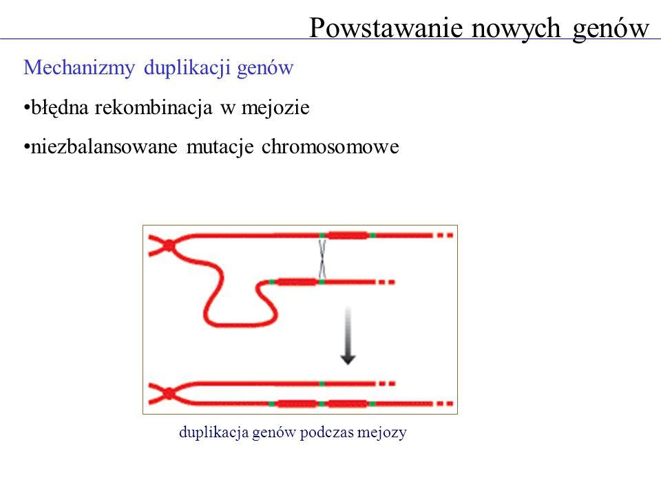 Mechanizmy duplikacji genów błędna rekombinacja w mejozie niezbalansowane mutacje chromosomowe duplikacja genów podczas mejozy Powstawanie nowych genów