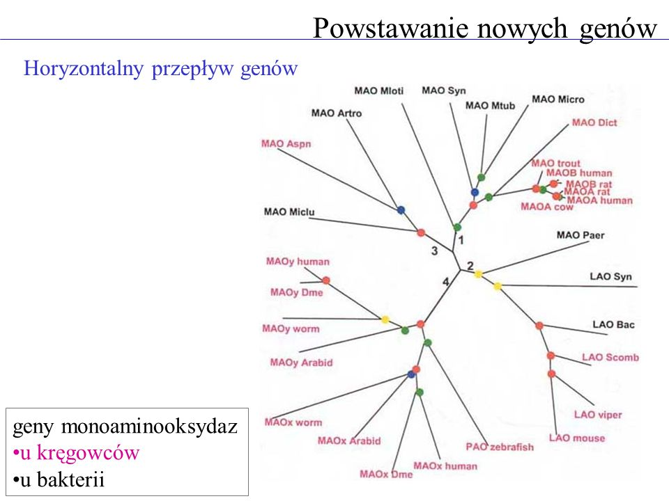 Horyzontalny przepływ genów Powstawanie nowych genów geny monoaminooksydaz u kręgowców u bakterii