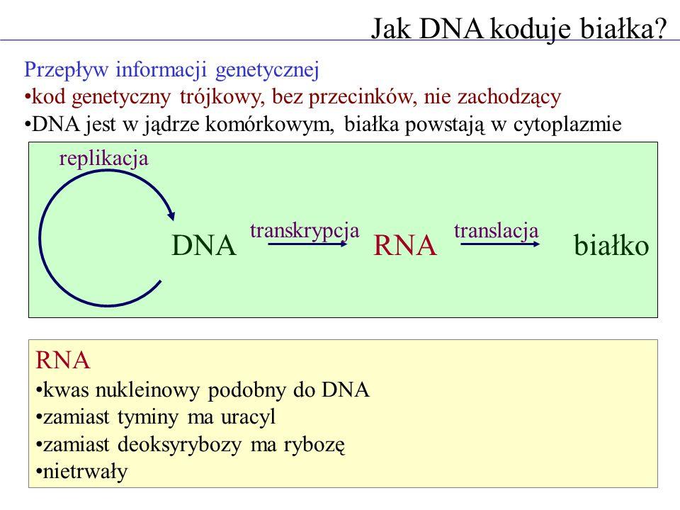 Jak DNA koduje białka? Przepływ informacji genetycznej kod genetyczny trójkowy, bez przecinków, nie zachodzący DNA jest w jądrze komórkowym, białka po