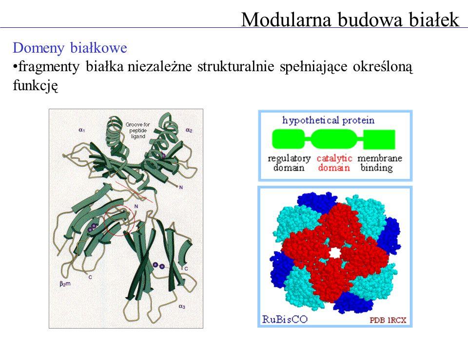 Modularna budowa białek Domeny białkowe fragmenty białka niezależne strukturalnie spełniające określoną funkcję