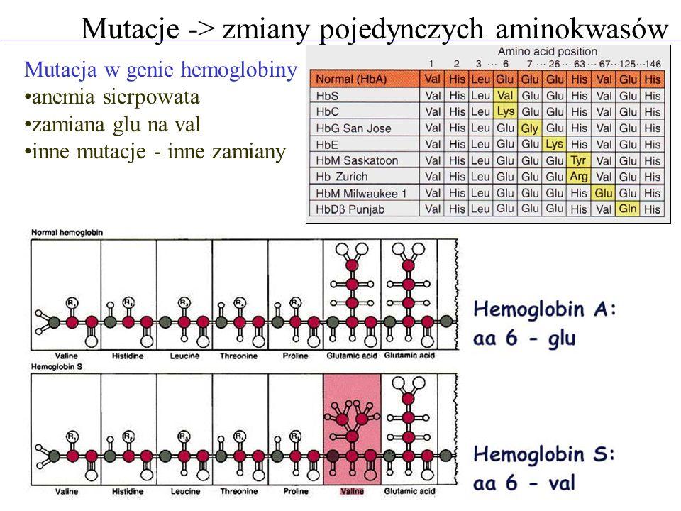 Mutacje -> zmiany pojedynczych aminokwasów Mutacja w genie hemoglobiny anemia sierpowata zamiana glu na val inne mutacje - inne zamiany