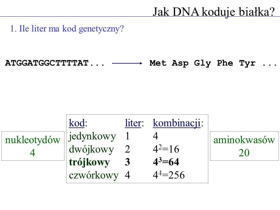 Jak DNA koduje białka? 1. Ile liter ma kod genetyczny? ATGGATGGCTTTTAT...Met Asp Gly Phe Tyr... kod:liter:kombinacji: jedynkowy14 dwójkowy24 2 =16 tró