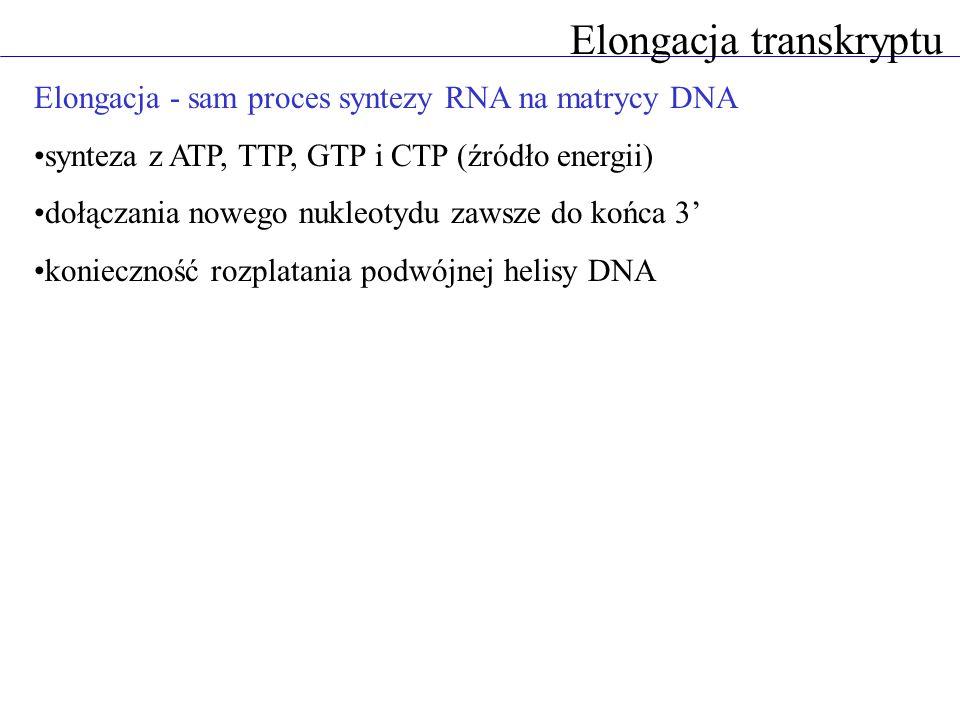 Elongacja - sam proces syntezy RNA na matrycy DNA synteza z ATP, TTP, GTP i CTP (źródło energii) dołączania nowego nukleotydu zawsze do końca 3 koniec