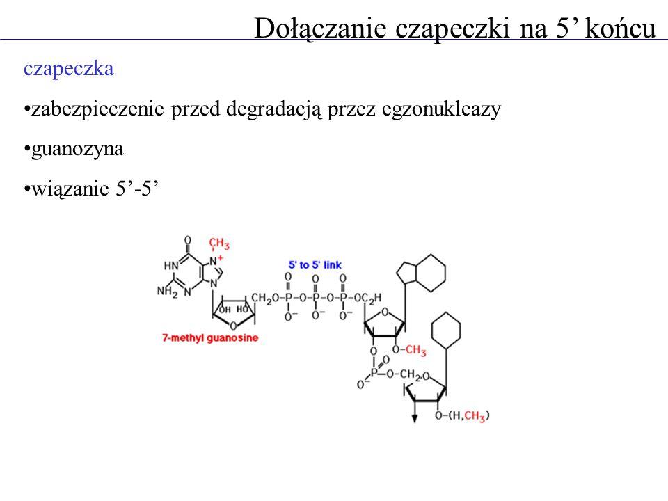 Dołączanie czapeczki na 5 końcu czapeczka zabezpieczenie przed degradacją przez egzonukleazy guanozyna wiązanie 5-5