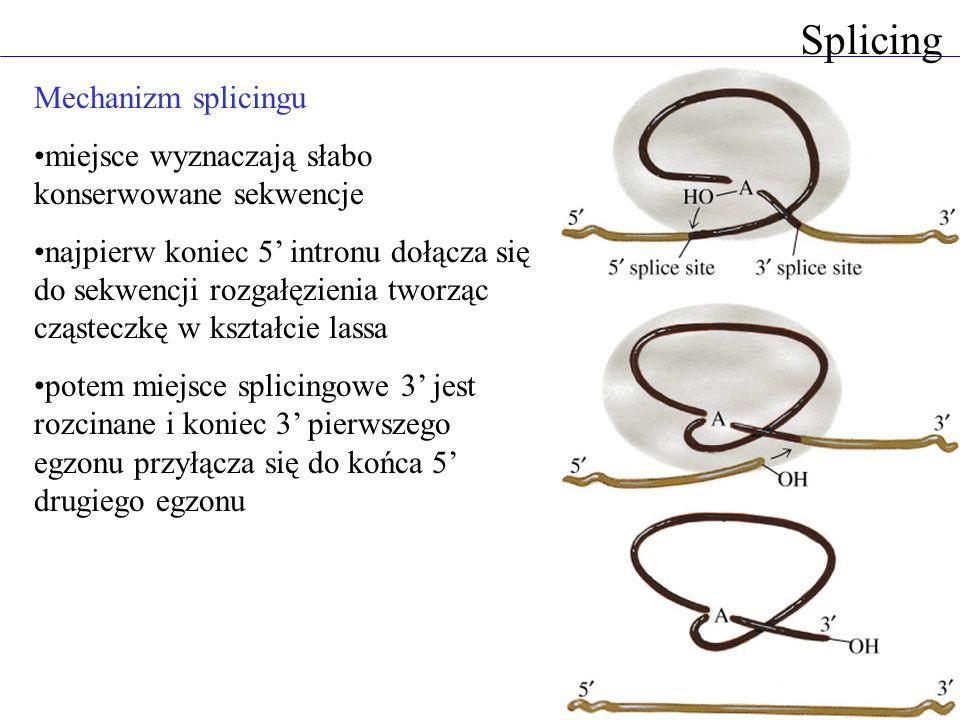 Splicing Mechanizm splicingu miejsce wyznaczają słabo konserwowane sekwencje najpierw koniec 5 intronu dołącza się do sekwencji rozgałęzienia tworząc