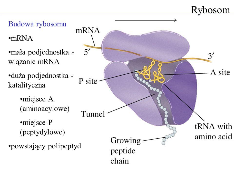 Rybosom Budowa rybosomu mRNA mała podjednostka - wiązanie mRNA duża podjednostka - katalityczna miejsce A (aminoacylowe) miejsce P (peptydylowe) powst