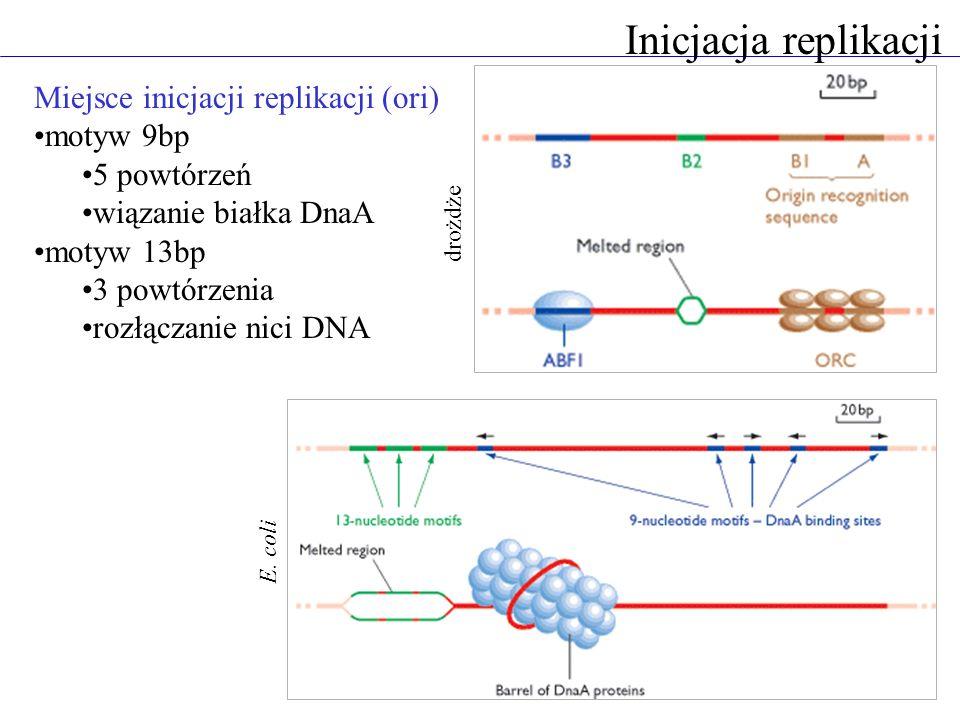Inicjacja replikacji Miejsce inicjacji replikacji (ori) motyw 9bp 5 powtórzeń wiązanie białka DnaA motyw 13bp 3 powtórzenia rozłączanie nici DNA E.