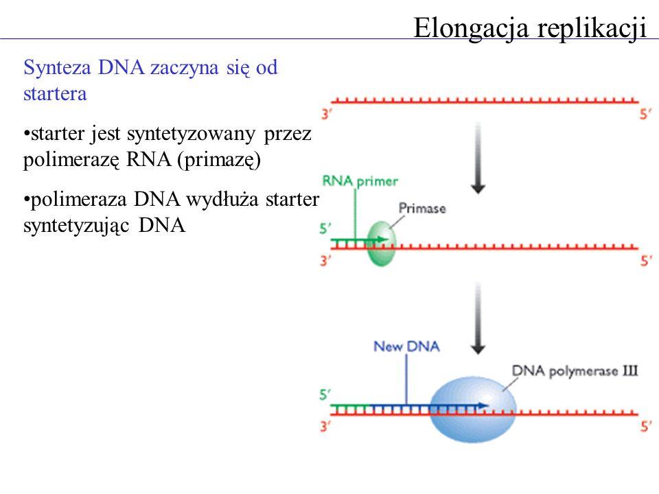Elongacja replikacji Synteza DNA zaczyna się od startera starter jest syntetyzowany przez polimerazę RNA (primazę) polimeraza DNA wydłuża starter syntetyzując DNA