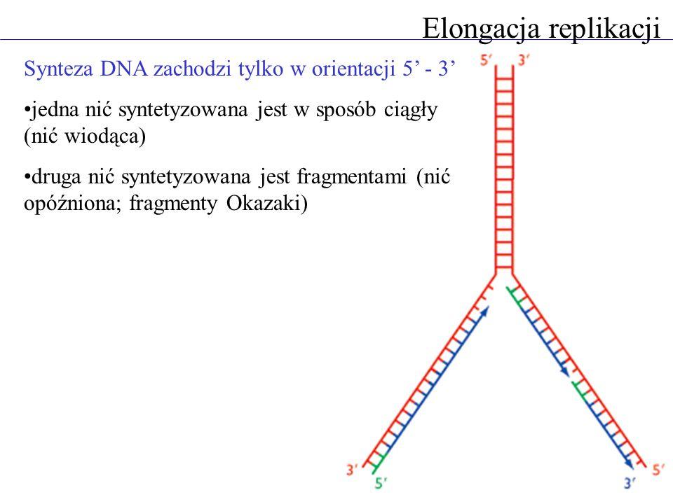 Elongacja replikacji Synteza DNA zachodzi tylko w orientacji 5 - 3 jedna nić syntetyzowana jest w sposób ciągły (nić wiodąca) druga nić syntetyzowana jest fragmentami (nić opóźniona; fragmenty Okazaki)