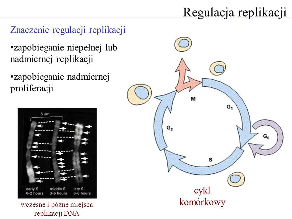 Regulacja replikacji Znaczenie regulacji replikacji zapobieganie niepełnej lub nadmiernej replikacji zapobieganie nadmiernej proliferacji wczesne i późne miejsca replikacji DNA cykl komórkowy