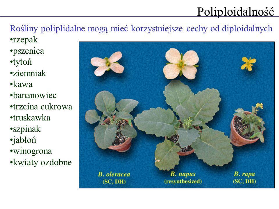 Poliploidalność Rośliny poliplidalne mogą mieć korzystniejsze cechy od diploidalnych rzepak pszenica tytoń ziemniak kawa bananowiec trzcina cukrowa truskawka szpinak jabłoń winogrona kwiaty ozdobne
