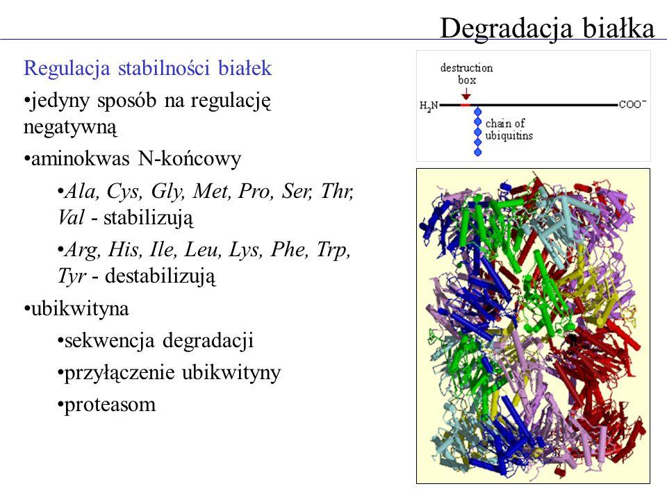 Degradacja białka Regulacja stabilności białek jedyny sposób na regulację negatywną aminokwas N-końcowy Ala, Cys, Gly, Met, Pro, Ser, Thr, Val - stabilizują Arg, His, Ile, Leu, Lys, Phe, Trp, Tyr - destabilizują ubikwityna sekwencja degradacji przyłączenie ubikwityny proteasom