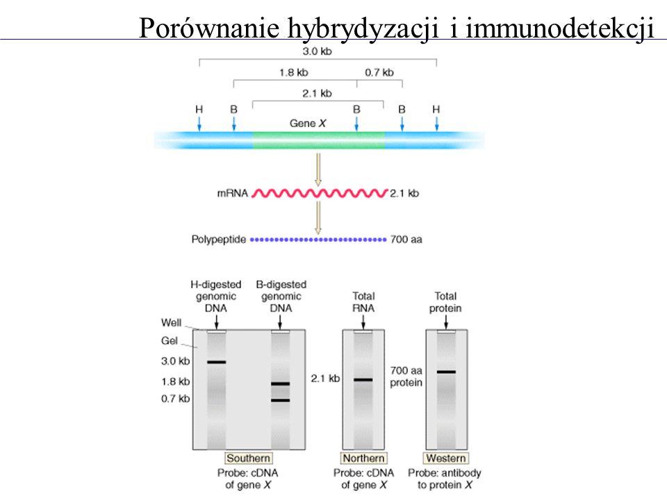 Porównanie hybrydyzacji i immunodetekcji