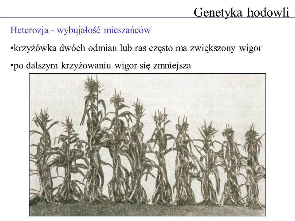 Heterozja - wybujałość mieszańców krzyżówka dwóch odmian lub ras często ma zwiększony wigor po dalszym krzyżowaniu wigor się zmniejsza Genetyka hodowl