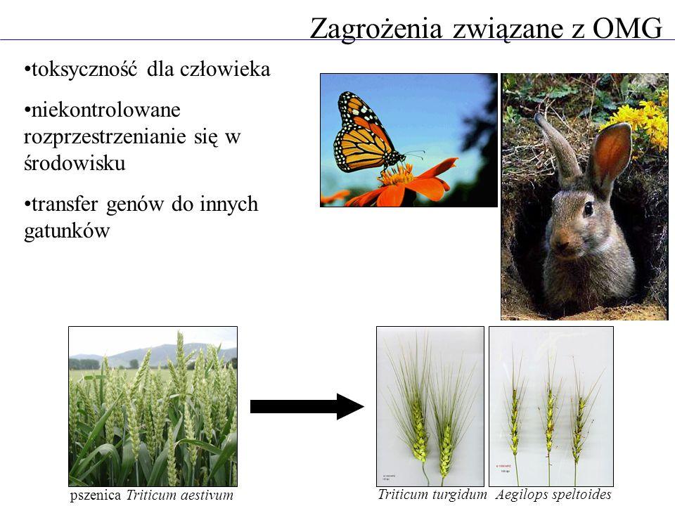 toksyczność dla człowieka niekontrolowane rozprzestrzenianie się w środowisku transfer genów do innych gatunków Zagrożenia związane z OMG pszenica Tri