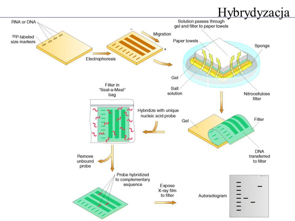 Ustalanie liczby kopii transgenu trawienie enzymem tnącym w obrębie transgenu następne miejsce trawienia już poza transgenem miejsce integracji losowe - odległość od drugiego miejsca restrykcyjnego też losowa liczba prążków świadczy o liczbie kopii transgenu wykrywanie rearanżacji w genomie trawienie enzymem tnącym jeden raz w obrębie badanej sekwencji - wykrycie transpozycji transpozonu trawienie enzymem tnącym wiele razy obrębie badanej sekwencji - wykrycie zmiany w budowie sekwencji Hybrydyzacja Southerna