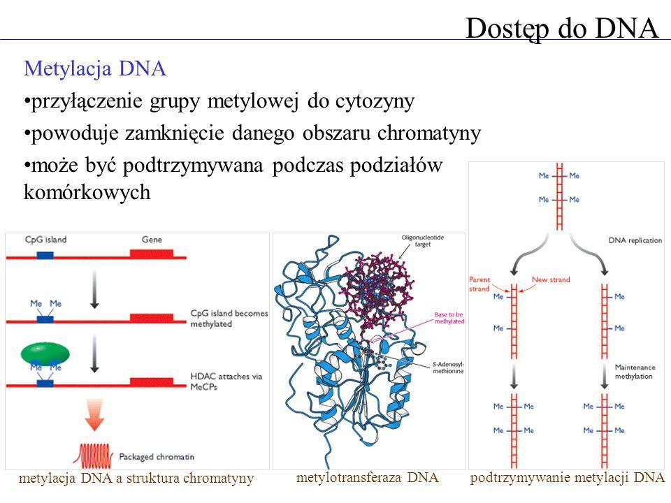 Dostęp do DNA Metylacja DNA przyłączenie grupy metylowej do cytozyny powoduje zamknięcie danego obszaru chromatyny może być podtrzymywana podczas podz