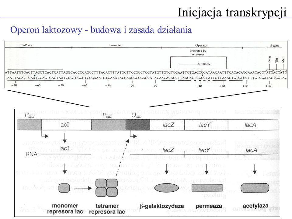 Inicjacja transkrypcji Operon laktozowy - budowa i zasada działania