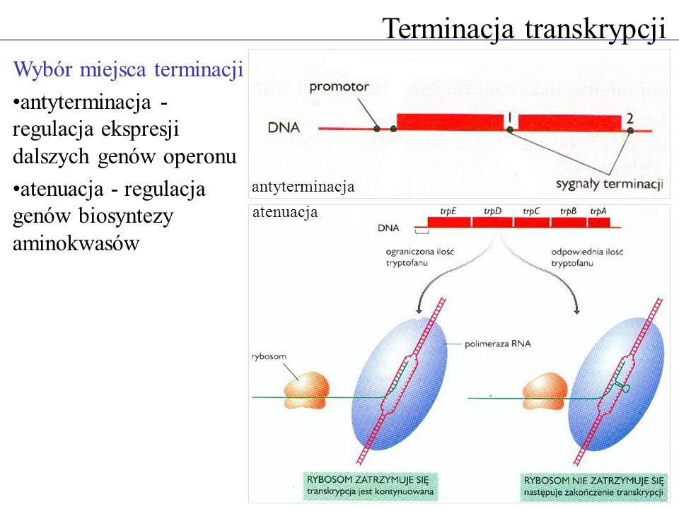 Terminacja transkrypcji Wybór miejsca terminacji antyterminacja - regulacja ekspresji dalszych genów operonu atenuacja - regulacja genów biosyntezy am