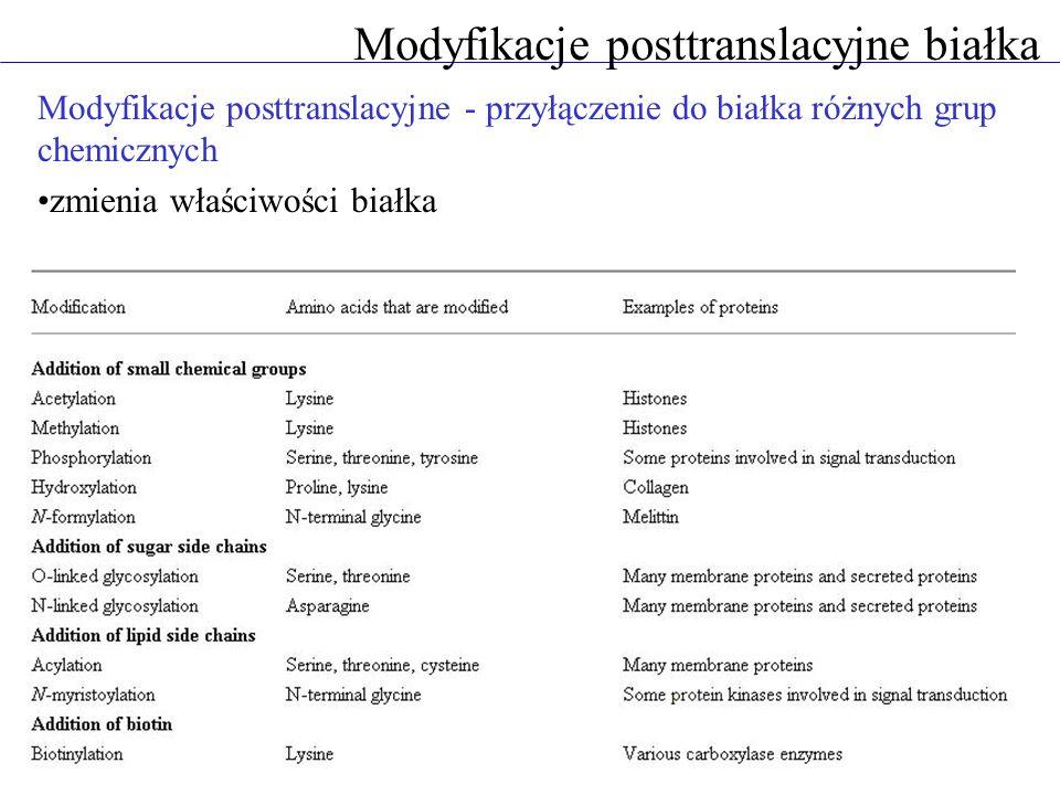Modyfikacje posttranslacyjne białka Modyfikacje posttranslacyjne - przyłączenie do białka różnych grup chemicznych zmienia właściwości białka