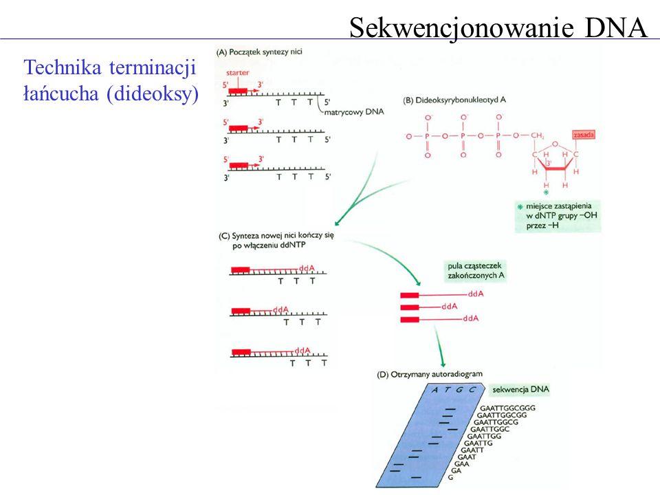 Sekwencjonowanie DNA Elektroforeza DNA pole elektryczne - DNA się porusza żel stawia opór proporcjonalny do wielkości cząsteczki małe cząsteczki DNA wędrują szybko, duże wolno prążki - grupy cząsteczek o identycznej długości autoradiogram rozdzielonych w żelu reakcji sekwencjonowania DNA