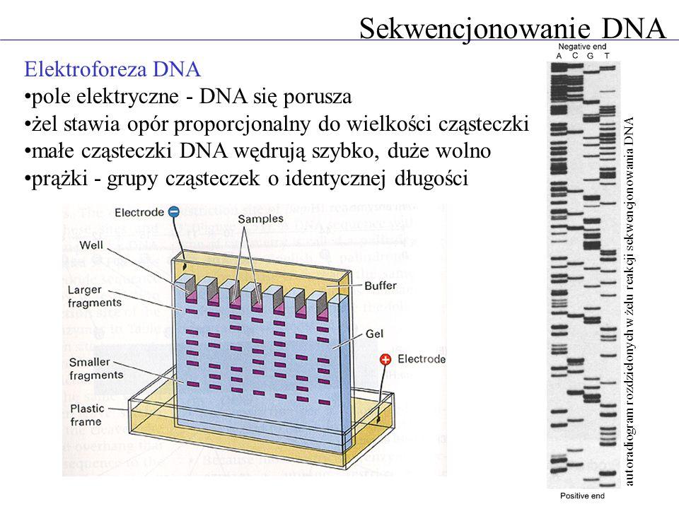 Sekwencjonowanie DNA Elektroforeza DNA pole elektryczne - DNA się porusza żel stawia opór proporcjonalny do wielkości cząsteczki małe cząsteczki DNA w