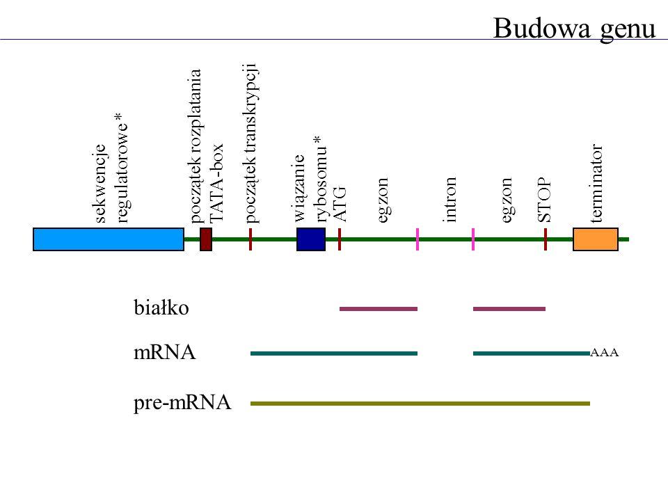 Budowa genu ATG STOP intron egzon wiązanie rybosomu * początek transkrypcjipoczątek rozplatania TATA-box sekwencje regulatorowe * terminator białko mR