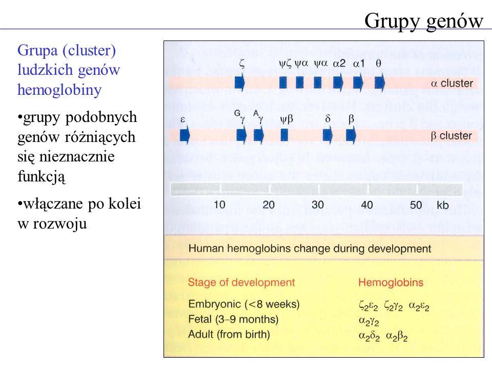 Grupy genów Grupa (cluster) ludzkich genów hemoglobiny grupy podobnych genów różniących się nieznacznie funkcją włączane po kolei w rozwoju