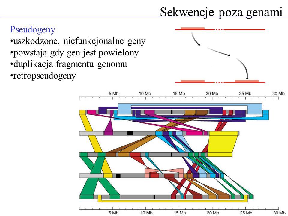 Sekwencje poza genami Pseudogeny uszkodzone, niefunkcjonalne geny powstają gdy gen jest powielony duplikacja fragmentu genomu retropseudogeny