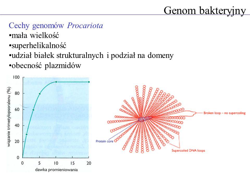 Genom bakteryjny Cechy genomów Procariota mała wielkość superhelikalność udział białek strukturalnych i podział na domeny obecność plazmidów