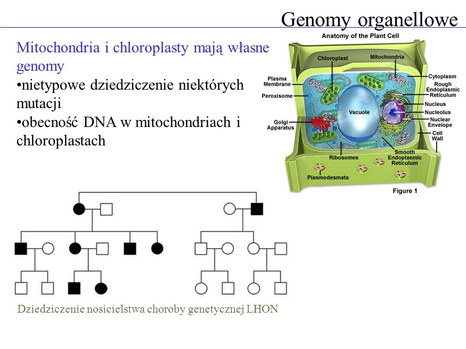 Genomy organellowe Mitochondria i chloroplasty mają własne genomy nietypowe dziedziczenie niektórych mutacji obecność DNA w mitochondriach i chloropla