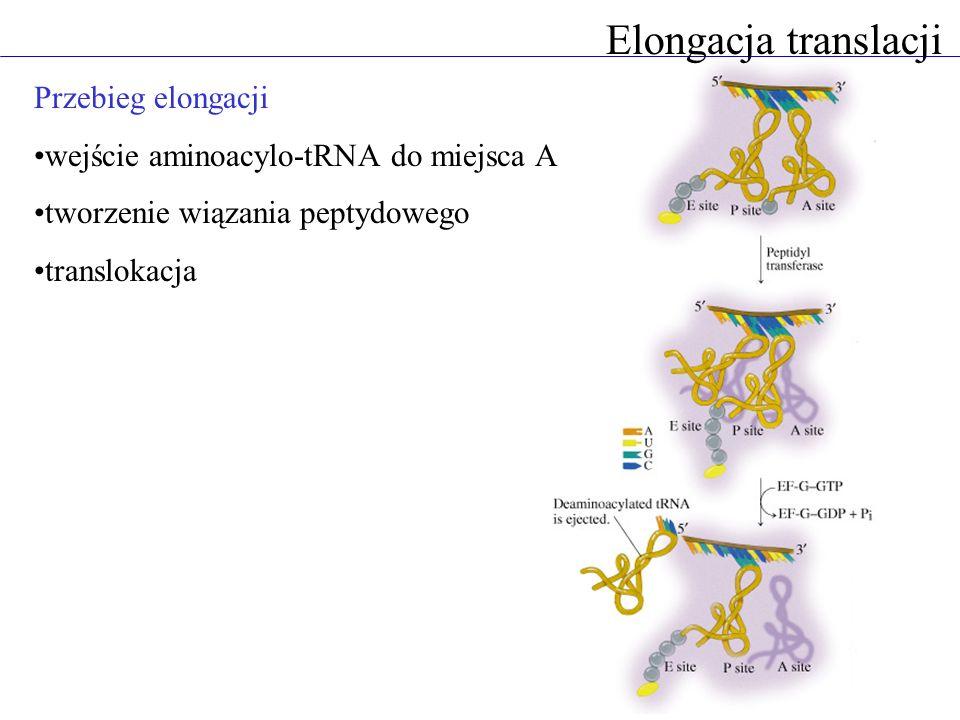 Elongacja translacji Przebieg elongacji wejście aminoacylo-tRNA do miejsca A tworzenie wiązania peptydowego translokacja