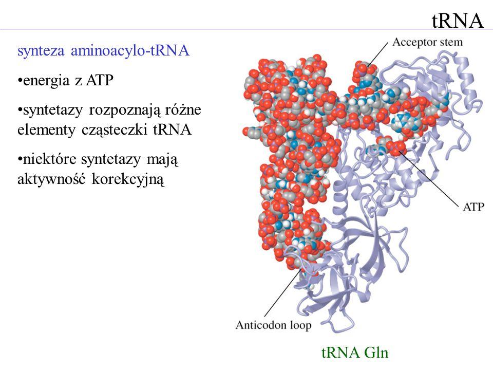 tRNA synteza aminoacylo-tRNA energia z ATP syntetazy rozpoznają różne elementy cząsteczki tRNA niektóre syntetazy mają aktywność korekcyjną tRNA Gln