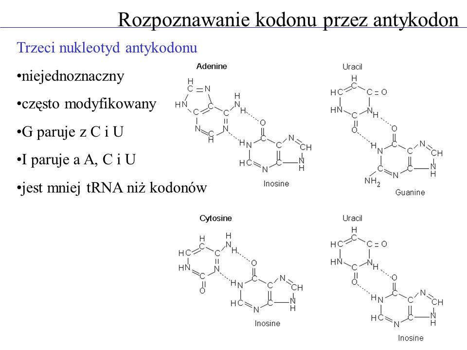 Rozpoznawanie kodonu przez antykodon Trzeci nukleotyd antykodonu niejednoznaczny często modyfikowany G paruje z C i U I paruje a A, C i U jest mniej t