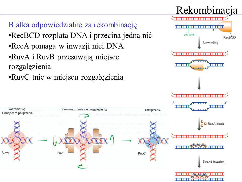 Rekombinacja Białka odpowiedzialne za rekombinację RecBCD rozplata DNA i przecina jedną nić RecA pomaga w inwazji nici DNA RuvA i RuvB przesuwają miej