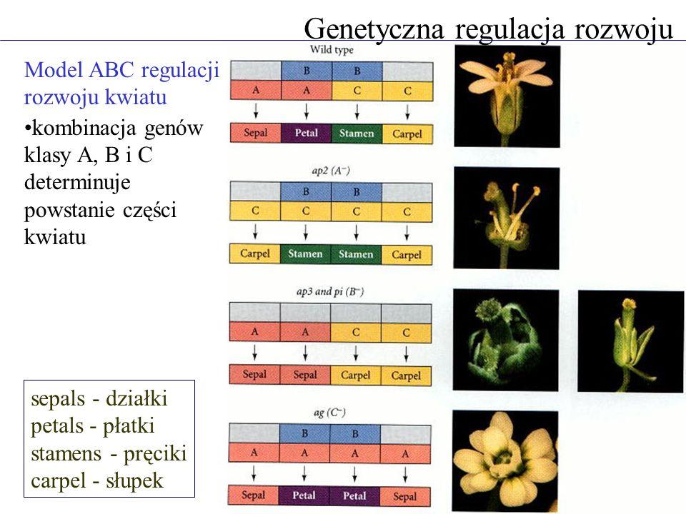 Genetyczna regulacja rozwoju Model ABC regulacji rozwoju kwiatu kombinacja genów klasy A, B i C determinuje powstanie części kwiatu sepals - działki p