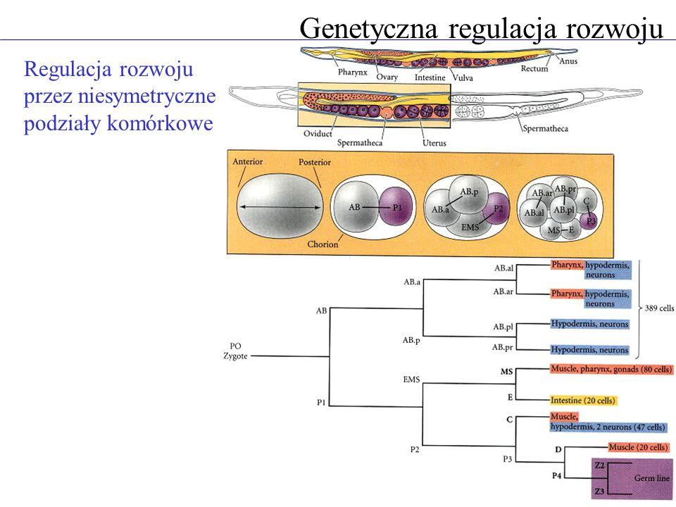 Genetyczna regulacja rozwoju Regulacja rozwoju przez niesymetryczne podziały komórkowe