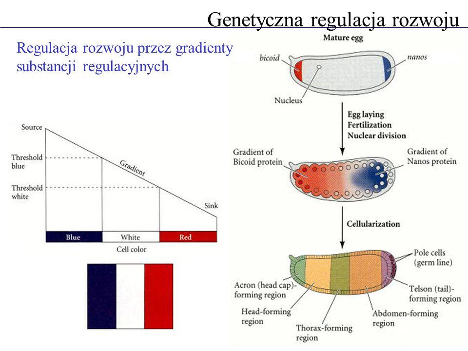 Genetyczna regulacja rozwoju Regulacja rozwoju przez gradienty substancji regulacyjnych