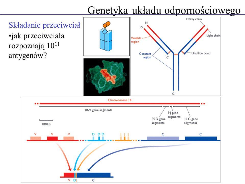 Genetyka układu odpornościowego Składanie przeciwciał jak przeciwciała rozpoznają 10 11 antygenów?