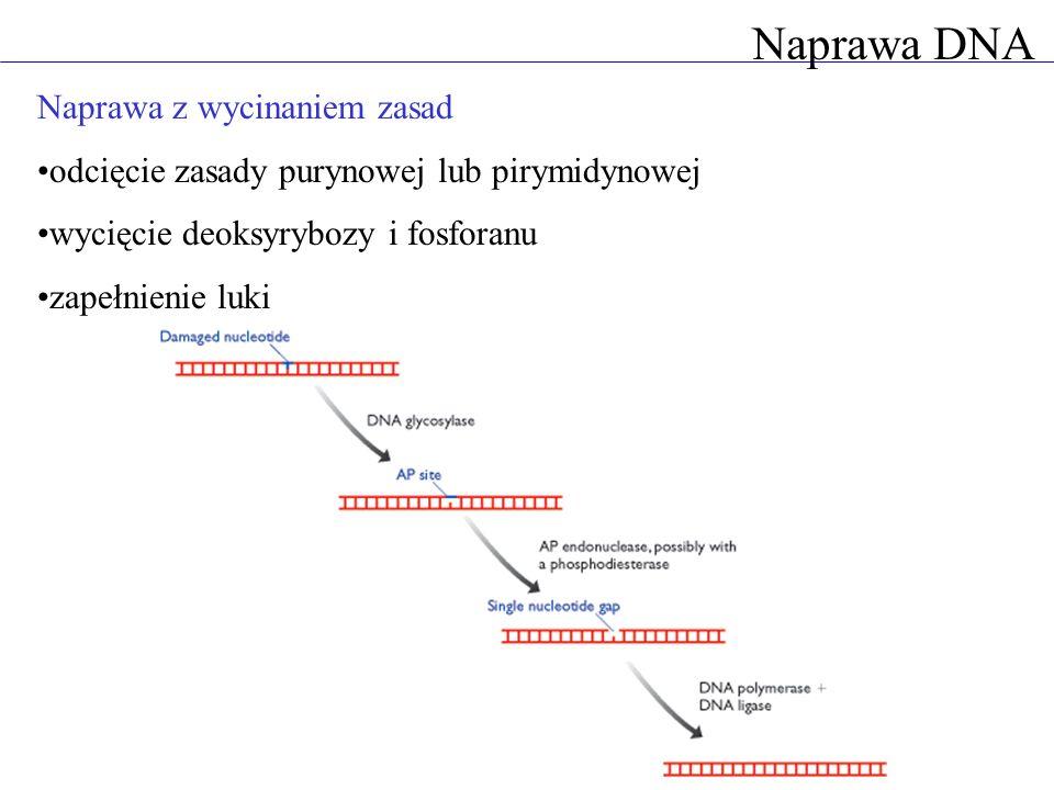 Naprawa DNA Naprawa z wycinaniem zasad odcięcie zasady purynowej lub pirymidynowej wycięcie deoksyrybozy i fosforanu zapełnienie luki