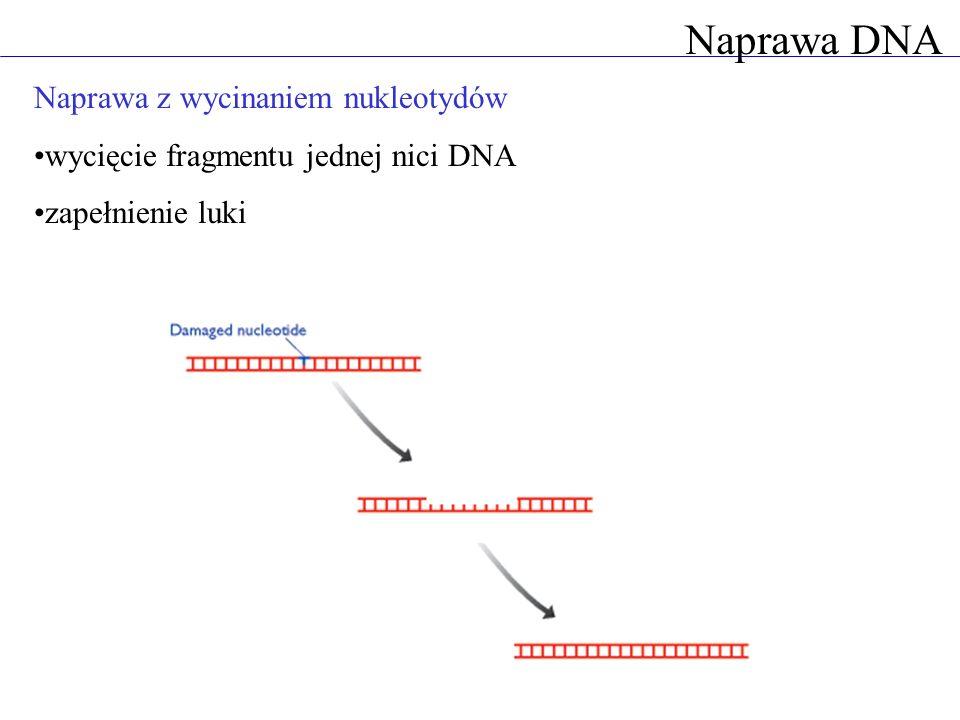 Naprawa DNA Naprawa z wycinaniem nukleotydów wycięcie fragmentu jednej nici DNA zapełnienie luki