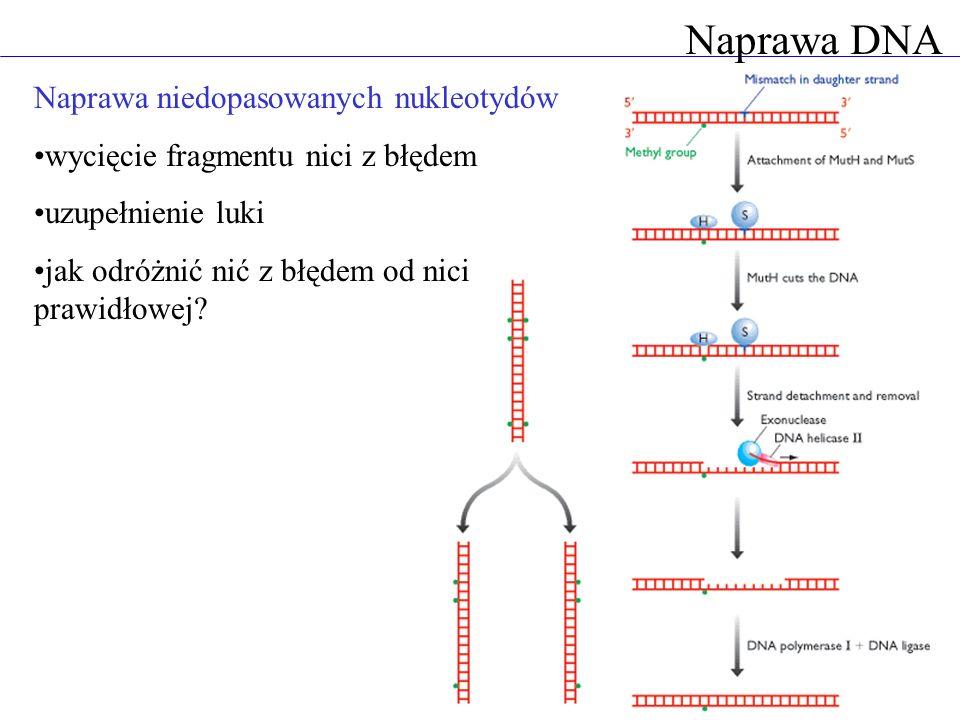 Naprawa DNA Naprawa niedopasowanych nukleotydów wycięcie fragmentu nici z błędem uzupełnienie luki jak odróżnić nić z błędem od nici prawidłowej?