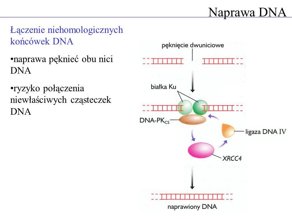 Naprawa DNA Łączenie niehomologicznych końcówek DNA naprawa pęknieć obu nici DNA ryzyko połączenia niewłaściwych cząsteczek DNA