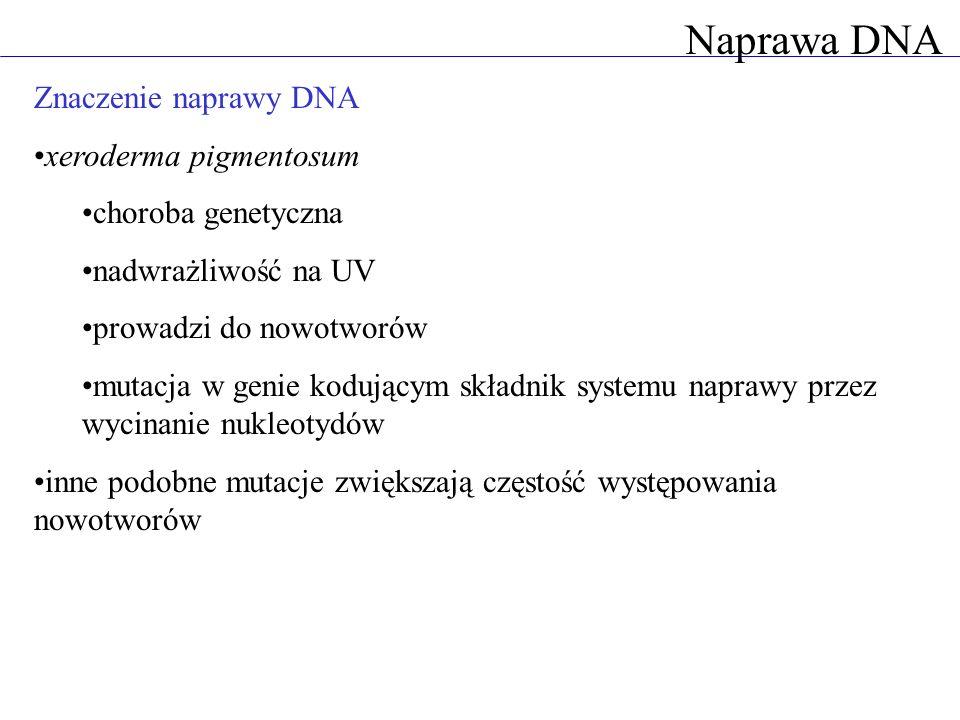 Naprawa DNA Znaczenie naprawy DNA xeroderma pigmentosum choroba genetyczna nadwrażliwość na UV prowadzi do nowotworów mutacja w genie kodującym składn