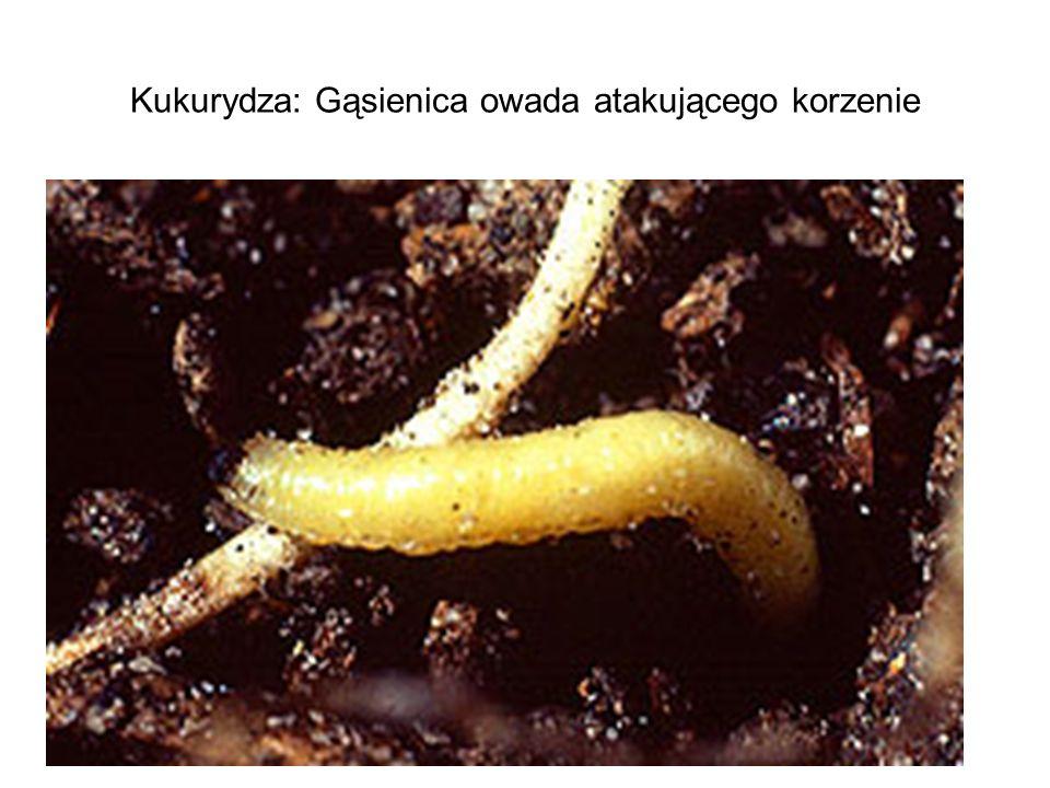 Kukurydza: Gąsienica owada atakującego korzenie