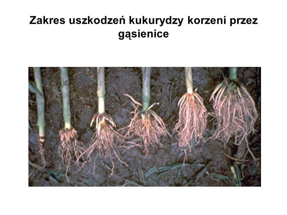 Zakres uszkodzeń kukurydzy korzeni przez gąsienice