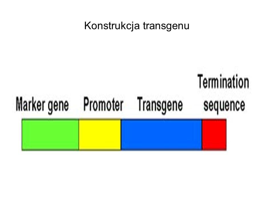 Konstrukcja transgenu